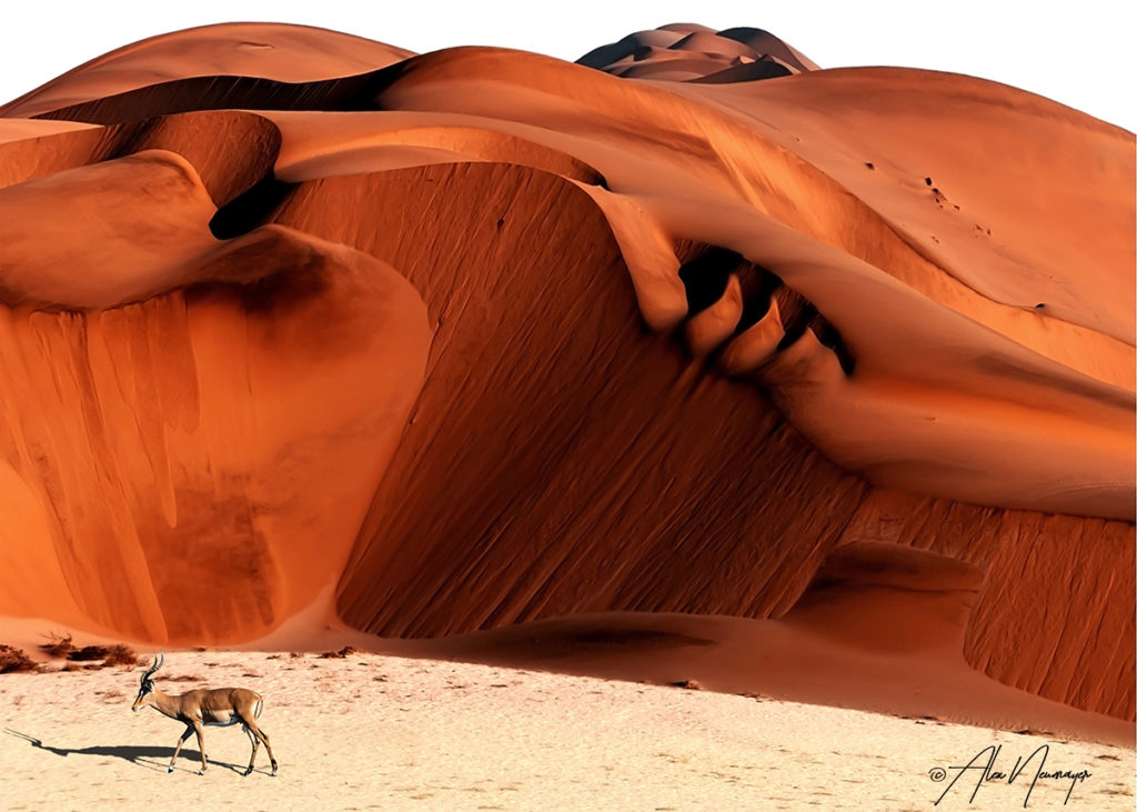 red sand dunes with antelopeantelope