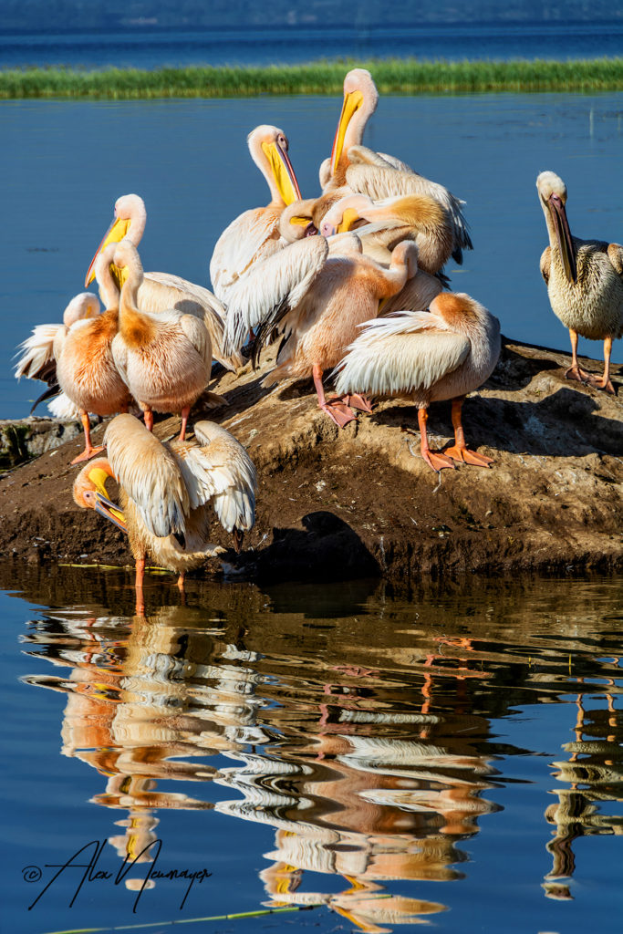 pelicans_DSC0213