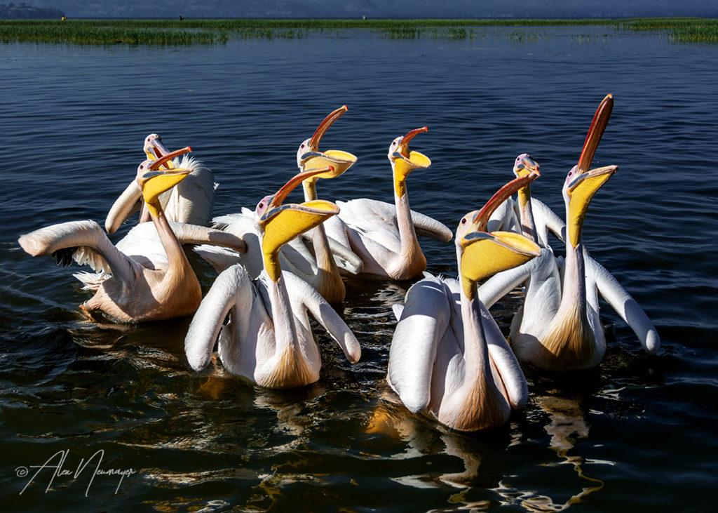 pelicans_DSC0408